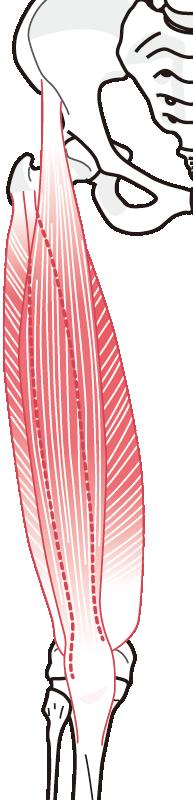 大腿部の筋肉