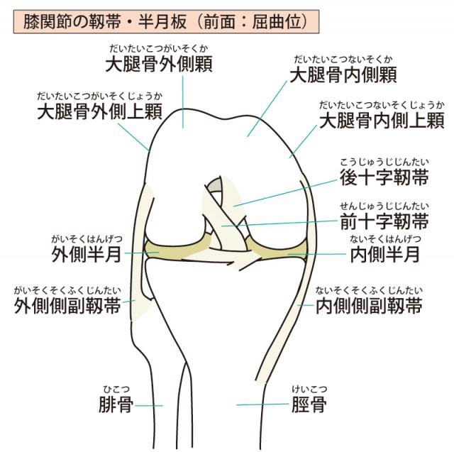 ひざ関節の靭帯