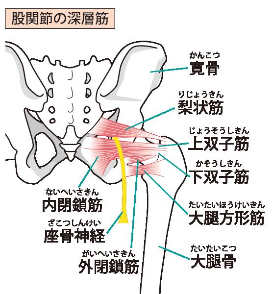 骨盤周辺の骨