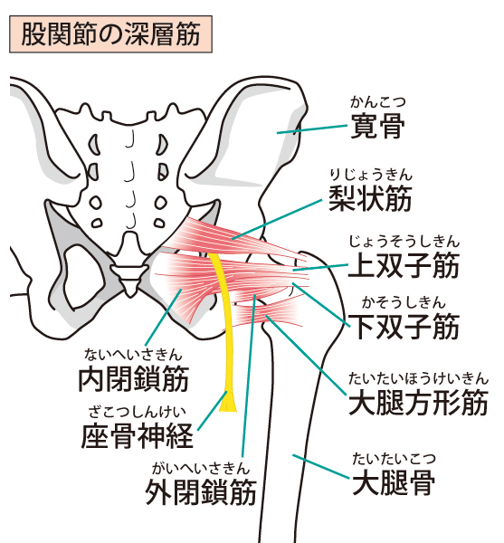 骨盤の深層筋