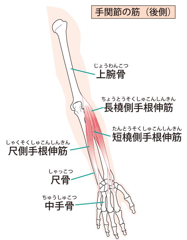 手関節の後ろの筋